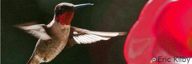Ruby Throated Hummingbird Content