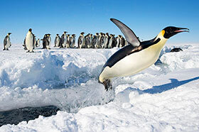 Emperor-Penguins-of-Gould-Bay-280x186