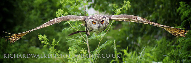 Owl-in-Flight