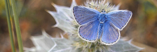 Common Blue - Finding a Social Media Audience to become a social butterfly